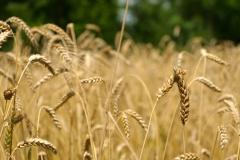 Population wheat